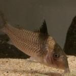 コリドラス 飼育 混泳 繁殖 生態