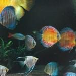 熱帯魚の王様!ディスカスの飼育方法【水槽・ろ過・水質・水温・病気・購入・レイアウト・トラブル】