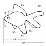 一目でわかる図解で説明!金魚の体、部位の名称について