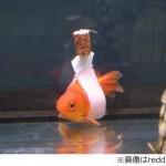 転覆病の金魚を救う「金魚車いす」がすごい!飼育者の愛情が形になった!