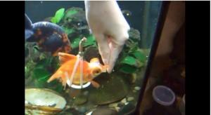 金魚補助具